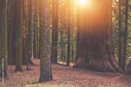 Foto op Canvas Bos Giant Sequoia Forest Place