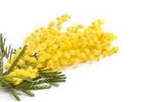 Mimosa Isolated On White Background, Women Day