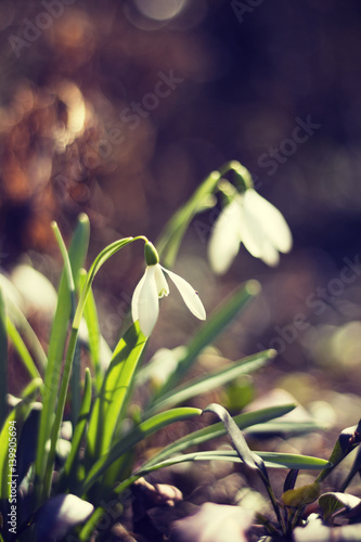 Fototapeta Snowdrop flower. Close-up of a wild snowdrop flower (Galanthus nivalis) in the early spring -toning effect obraz na płótnie