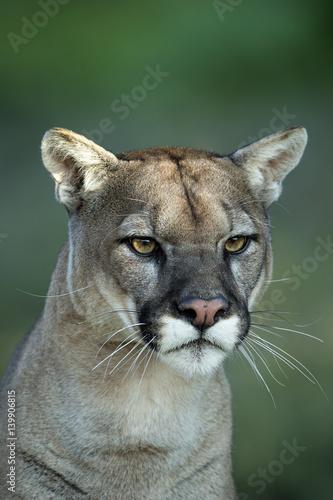 Poster Puma animal