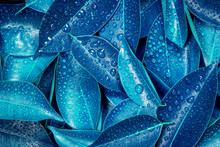 Wet Fresh Tropical Blue Leaves Background