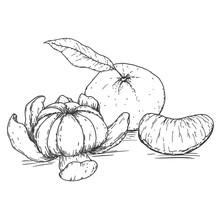 Vector Hand Drawn Mandarine. Tropical Summer Fruit Engraved Vintage Style. Sketch Design Elements For Branding Package, Textile.