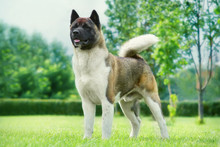 American Akita In The Garden On The Green Lawn Portrait Of A Dog's Exhibition Stand