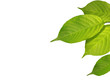 Leinwandbild Motiv grüne Blätter im Frühling oder Sommer auf weiss