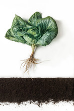 Cabbage. Plant Above Soil Isolated On White Background