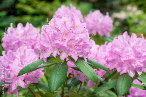 Plakat Różowy kwiat Różanecznik z bliska