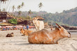Cows and calves sitting on the sand near the ocean resorts under palm trees, village in Goa, India.