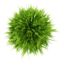Top View Of Thuja Plant Isolat...