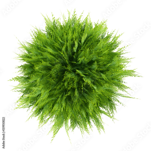 top view of thuja plant isolated on white background Wall mural