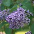 Blooming lilac ( Syringa ) in a garden
