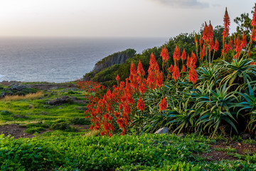 Panel Szklany Egzotyczne Aloe vera flower blooming near the ocean at sunrise on the island of Madeira
