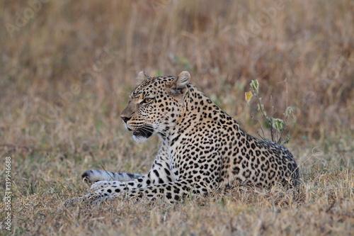 Canvas Prints Leopard animal