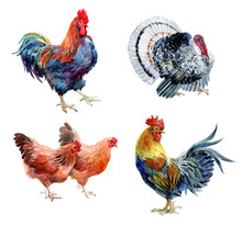 Watercolor Realistic Chicken, Cock, Rooster And Turkey Birds Isolated On A White Background.