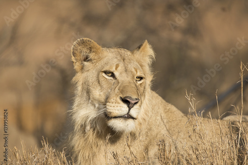 Regal lioness enjoying sunny morning Poster