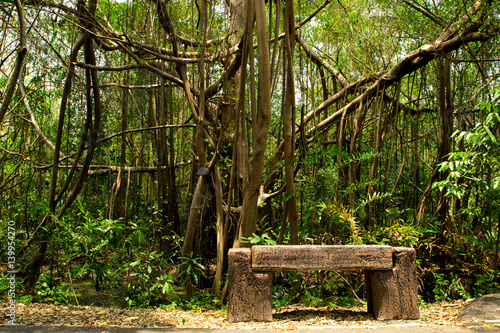 Tuinposter Oude verlaten gebouwen Ficus Microcarpa,Dense jungle and a wooden bench