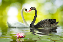 Two White And Black Swans On Lake