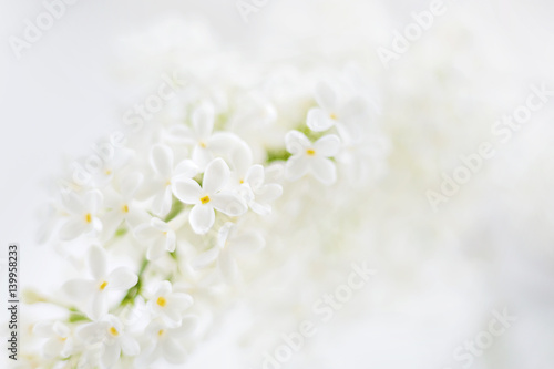 In de dag Lilac Lilac (Syringa) flowers on white background. Place for text.