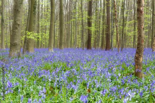 Fototapeta Wildflower bluebells forest obraz na płótnie