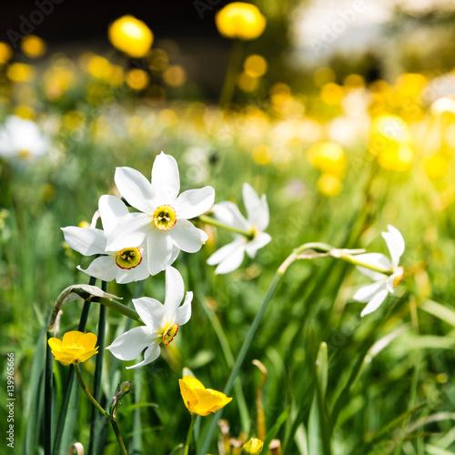 wilde, weisse Narzissen im Frühling, les pléiades, Schweiz