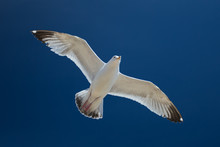 Herring Gull In Flight Against A Blue Sky (larus Argentatus)