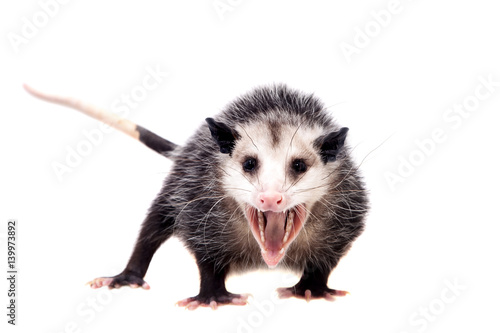Obraz na plátně  The Virginia opossum, Didelphis virginiana, on white