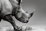 Rhino close up while mobile in Pilanesberg National Park. Fine art, monochrome. Rhinocerotidae - 139996425