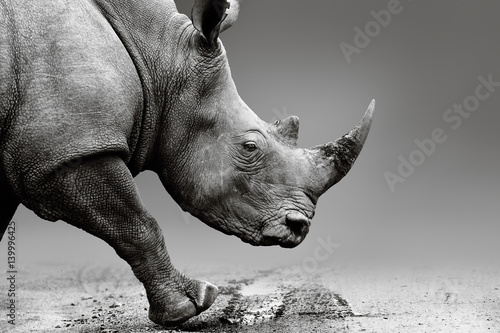 Rhino close up while mobile in Pilanesberg National Park. Fine art, monochrome. Rhinocerotidae