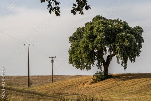 Fotografie, Obraz  Cork oak