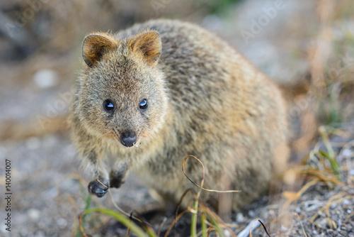 Quokka blickt in die Kamera, scheues Tier, Rottnest Island, Perth, Westaustralien, Australien, Australia, Down Under