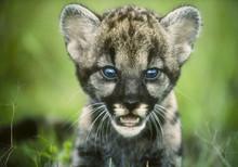 Florida Panther Cub