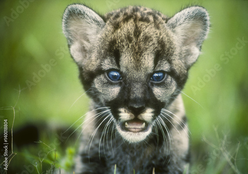 Door stickers Puma Florida Panther cub