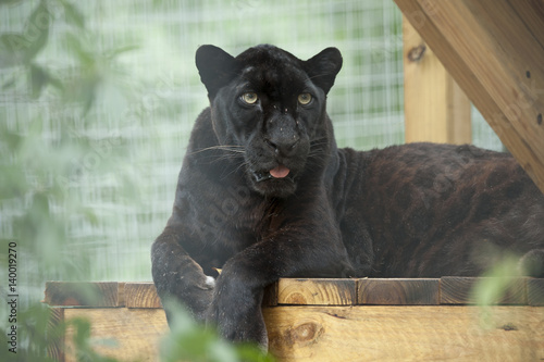 In de dag Panter Captive African Black Leopard