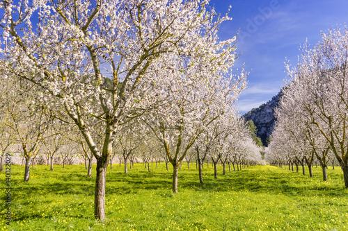 Obraz na płótnie almond trees