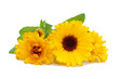 Two flowers of a calendula isolated on a white background