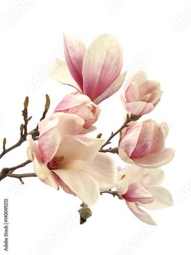 Foto op Plexiglas Magnolia magnolia