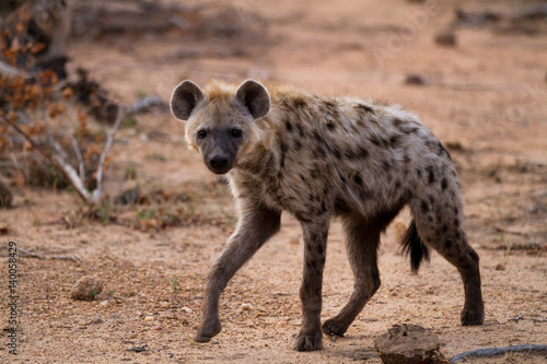 Fotomural hyena walking in the bush of kruger national park