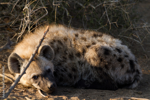 Poster Hyène hyena suckling the cubs in the kruger national park