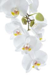 Wiszące białe kwiaty orchidei