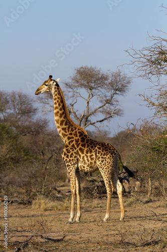 Poster Giraffe giraffes in the kruger national park