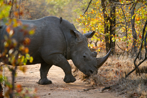 rhino walking alone in the bush of kruger national park