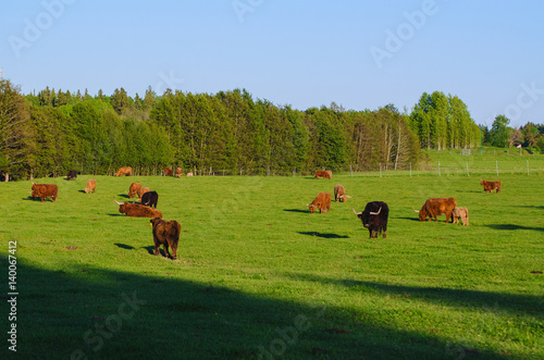 Scotland highland hairy red cows with calfs grazing at the green summer meadow, Canvas Print