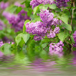 Branch of lilac flowers with the leaves, vintage retro hipster image with water reflection, seasonal spring holiday background