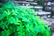 Leinwanddruck Bild - St. Patrick's Day symbol. The bush of shamrock clover green heart-shaped leaves near the stone stairs.