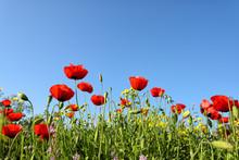 Beautiful Red Anemone Flower