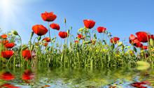 Beautiful Red Anemone Flowers