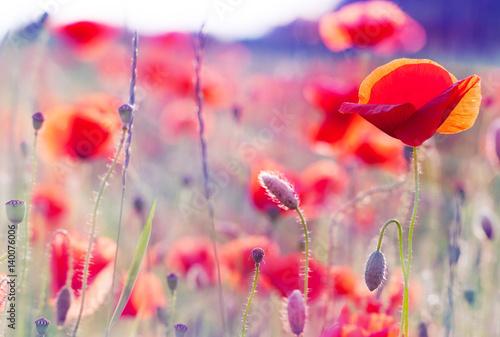 In de dag Poppy poppy flowers in summer