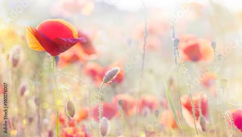 In de dag Bleke violet poppy flowers in summer