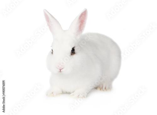 White Bunny isolated on white background