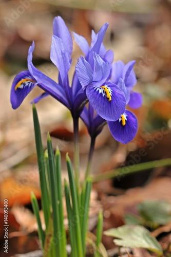 Blaue Zwergiris, Netzblattiris (Iris reticulata)