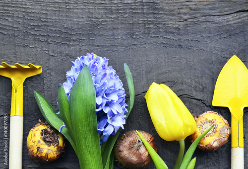 Fotografía Blue hyacinth,yellow tulip,gardening tools and gladioli bulbs on old wooden background